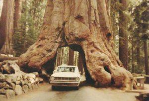 Pioneer Cabin Tree in September 1968.