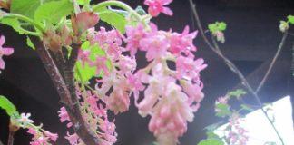 currants not houseplants