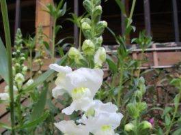 tropism and snapdragon