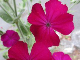 naturalizing rose campion