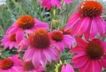 medicinal herbs coneflower