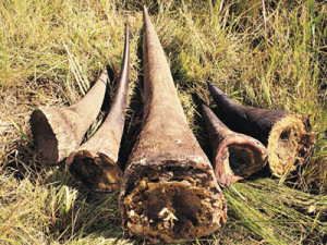 Black Rhino horns are considered valuable items that in some countries are utilized for medical uses or treatments.