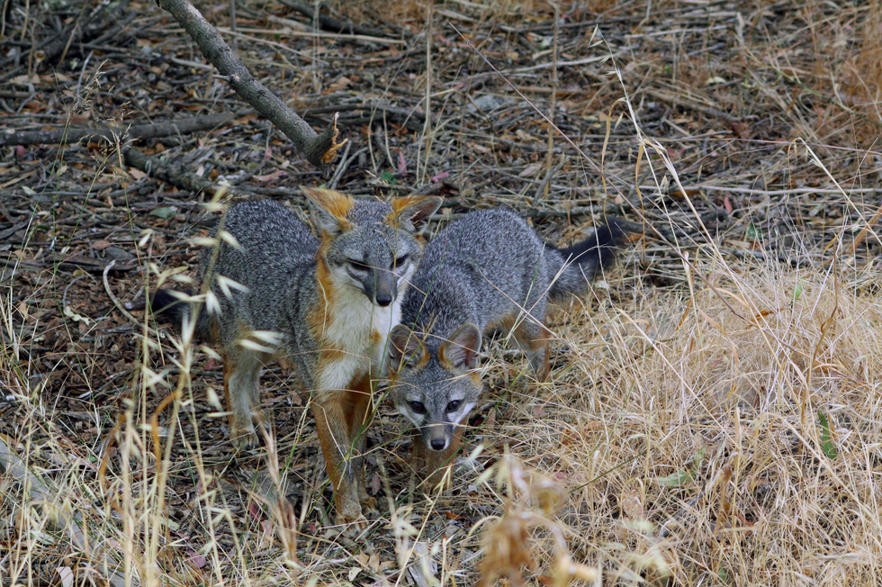 Photo of gray foxes provided by Greg Kerekez