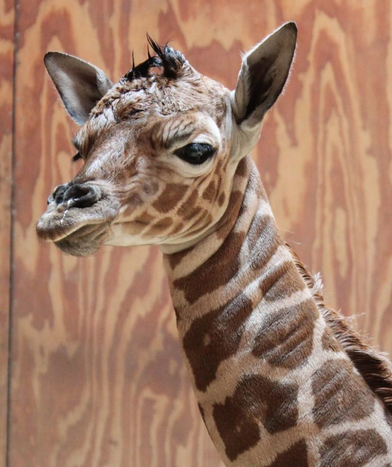 New Baby Giraffe At The Zoo - San Francisco News