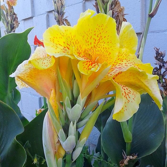 bulb-like perennials